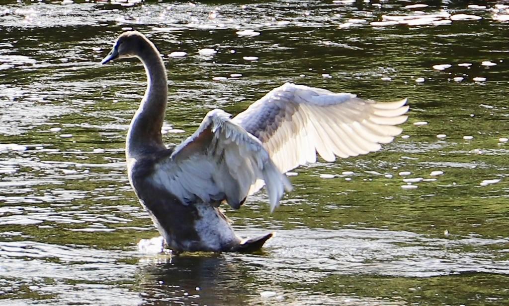 Teenage Swan.... by carole_sandford