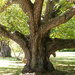 Old Black Walnut tree