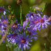 Silky Asters