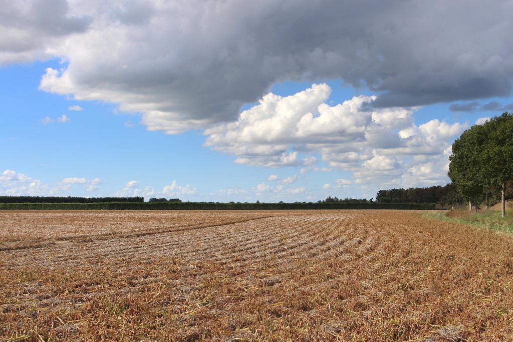 A potato`s field ready to harvest  by pyrrhula