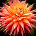 A Flower........