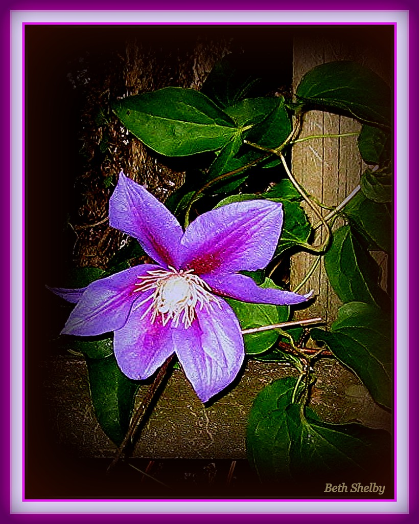 A Single Purple Clematis Flower by vernabeth