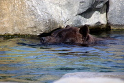 8th Sep 2019 - Bear Takes A Dip