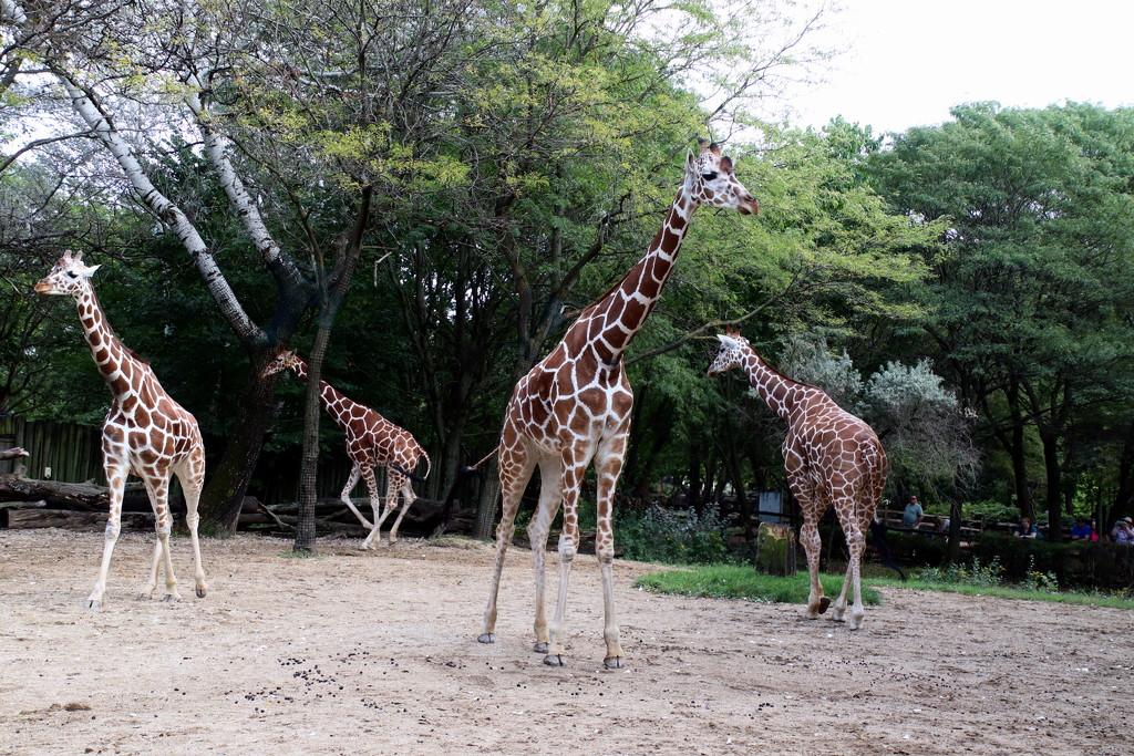 Giraffes by randy23