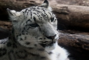 12th Sep 2019 - Snow Leopard
