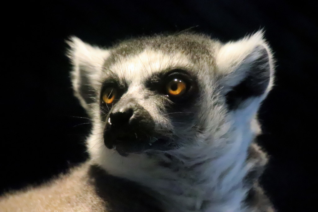 Ring Tailed Lemur by randy23