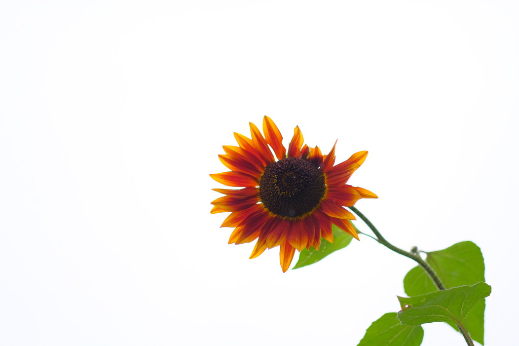 Sunflower by tosee