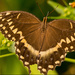 Palamedes Swallowtail Butterfly!