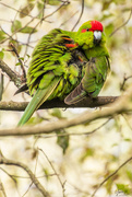 14th Sep 2019 - kākāriki