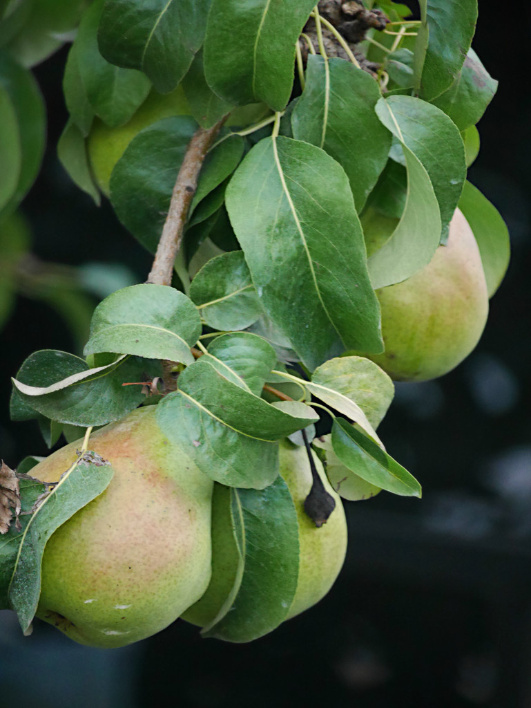 Growing Pears  by gq