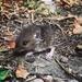 Little field mouse by bizziebeeme