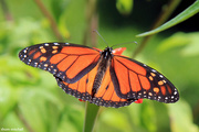15th Jul 2019 - The unmistakable Monarch