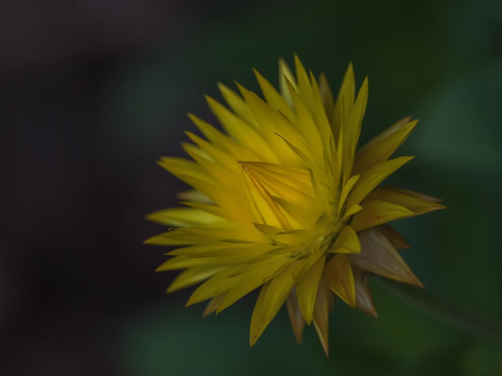 Yellow beauty by gosia