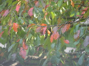 14th Sep 2019 - Blackgum Leaves
