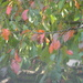 Blackgum Leaves