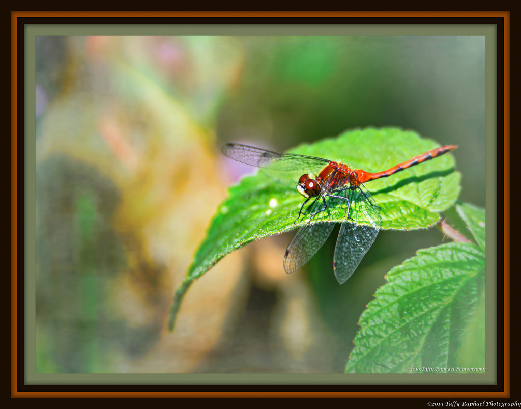 Red Dragonfly on a Green Leaf by taffy