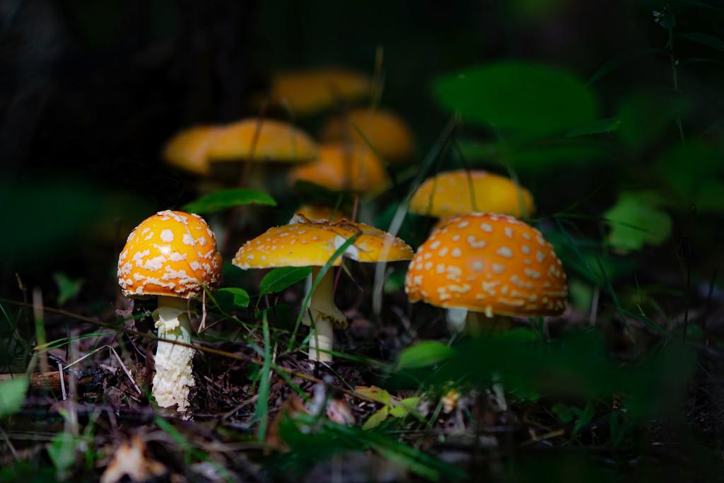 Mushrooms on My Walk by farmreporter