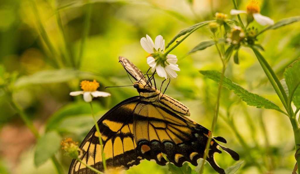 Eastern Tiger Swallowtail Hanging On! by rickster549