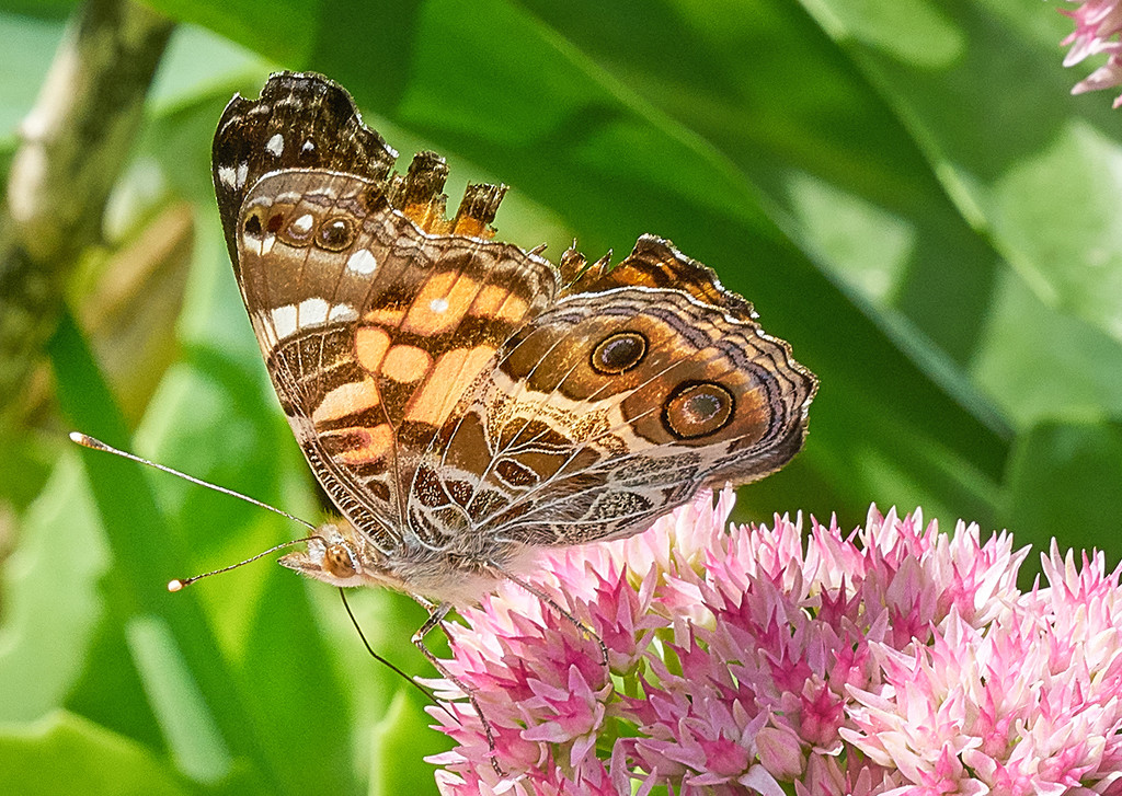 Painted Lady by gardencat