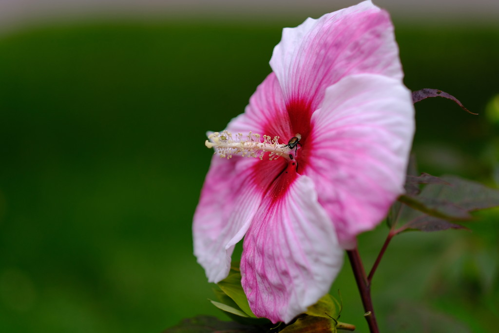 Hibiscus and Beetle  by tosee
