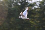 31st Jul 2019 - Seagull?