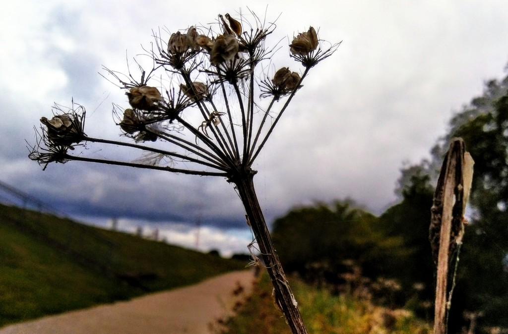 Withered umbellifer by boxplayer