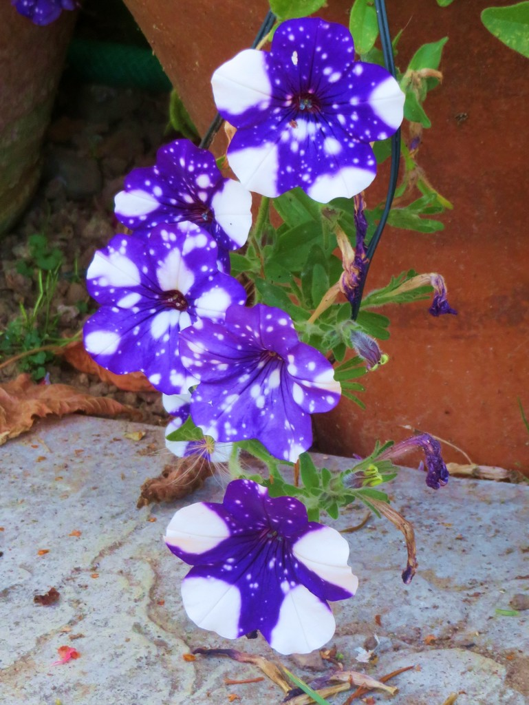 Late petrunias by lellie