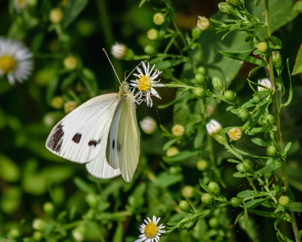 Cabbage White on Daisy Wildflower by marylandgirl58
