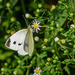 Cabbage White on Daisy Wildflower