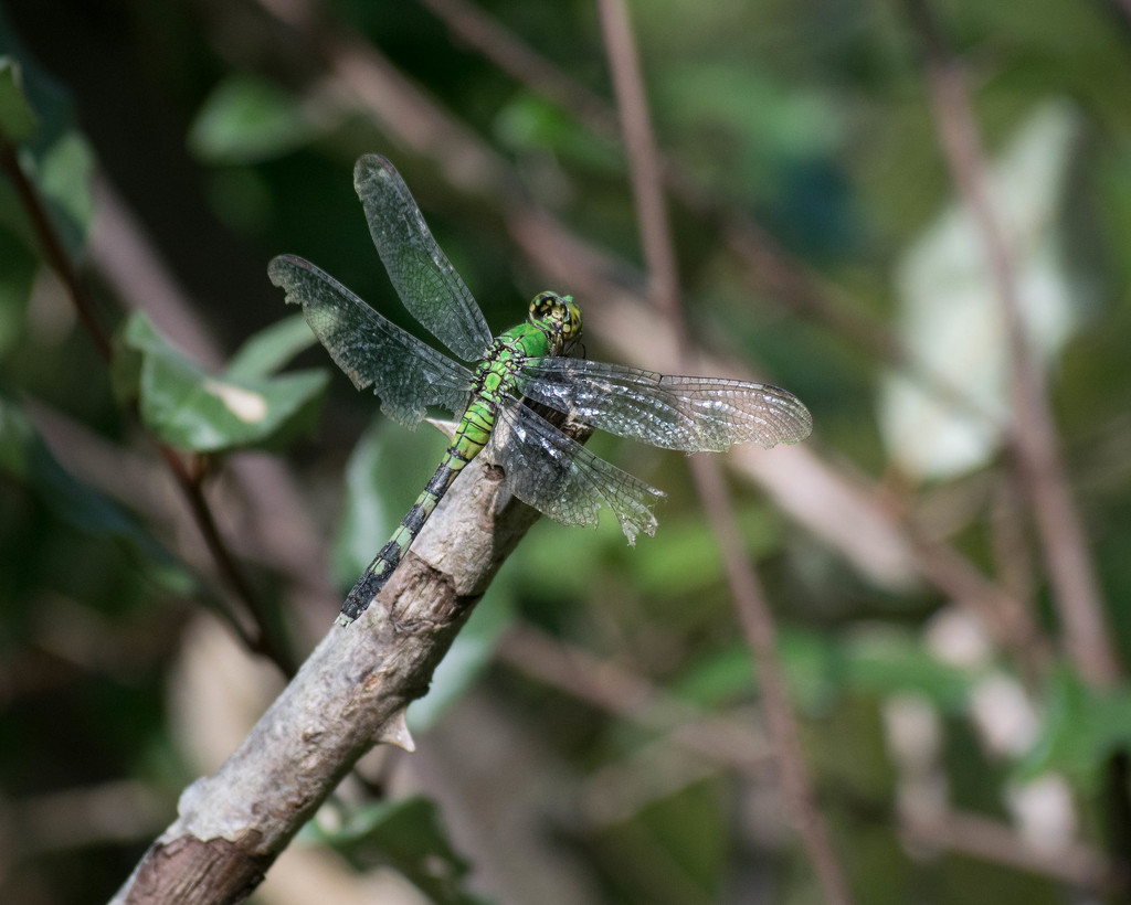 Emerald Green Dragonfly by marylandgirl58