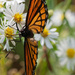 viceroy and asters