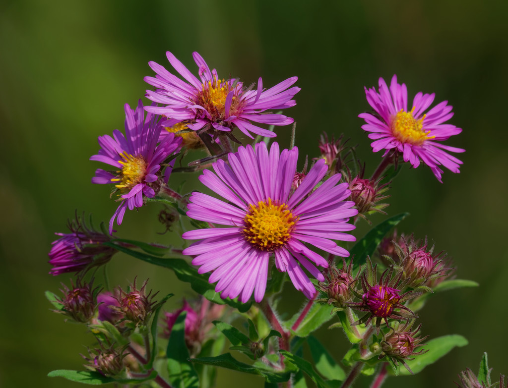 Pink asters  by rminer