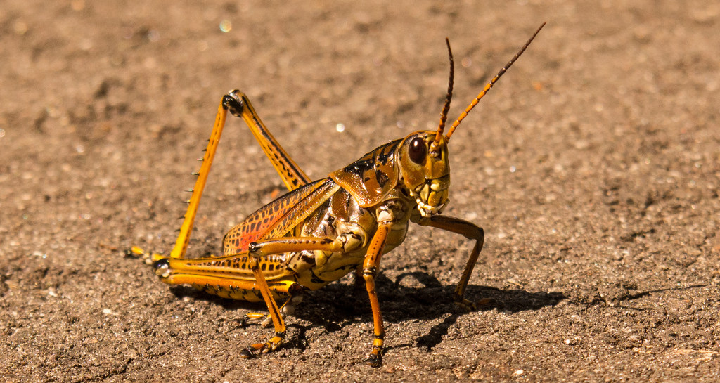 Eastern Lubber Grasshopper Crossing the Path! by rickster549