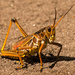 Eastern Lubber Grasshopper Crossing the Path!