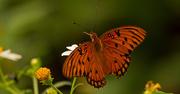 15th Sep 2019 - Gulf Fritillary Butterfly!