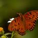 Gulf Fritillary Butterfly!