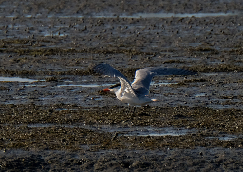 Caspian tern by maureenpp