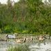 Swan by haskar
