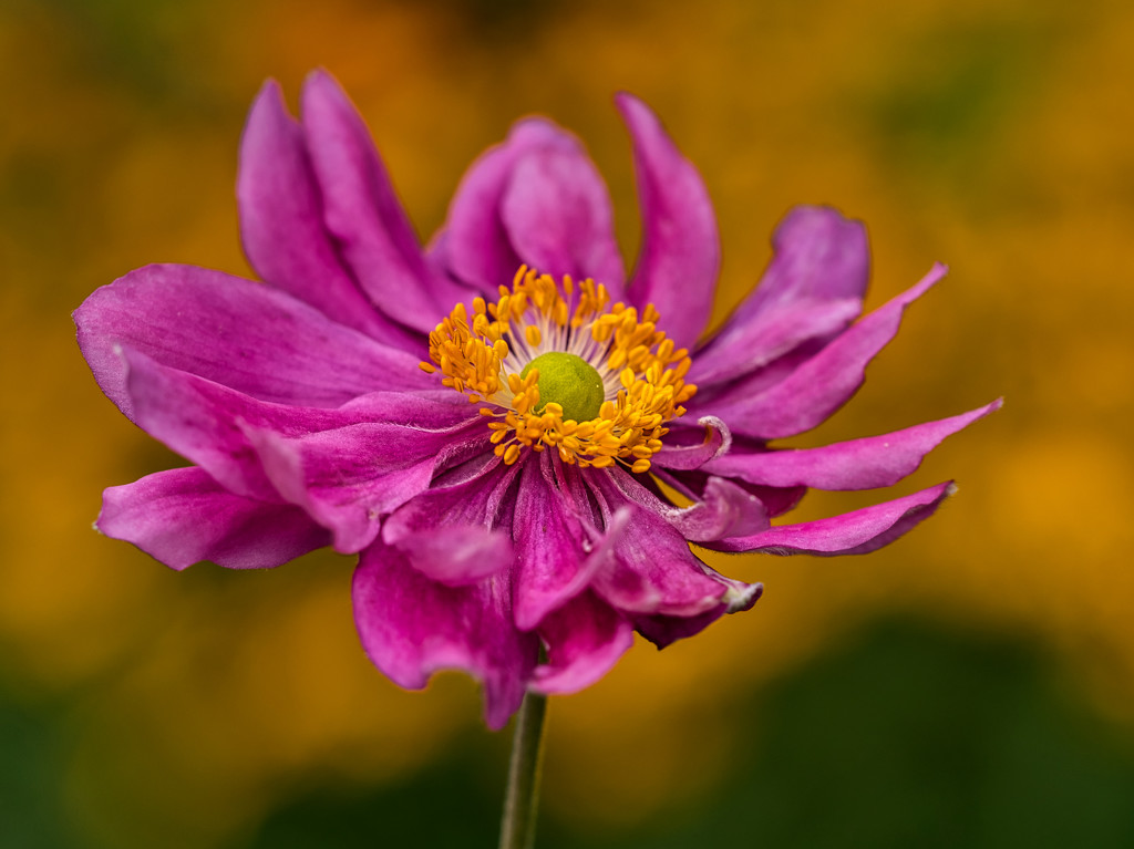 Anemone Red. by tonygig