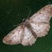 Door Moth