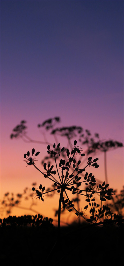 Fennel dusk by ruthhill75