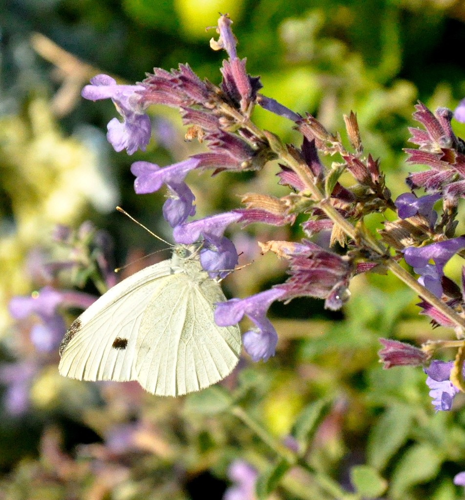 Male Cabbage White clinging to a bloom. by sailingmusic