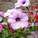Churchyard Lilac