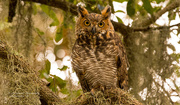 16th Sep 2019 - Friendly Great Horned Owl!