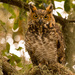 Friendly Great Horned Owl!
