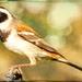 Our Cape Sparrow