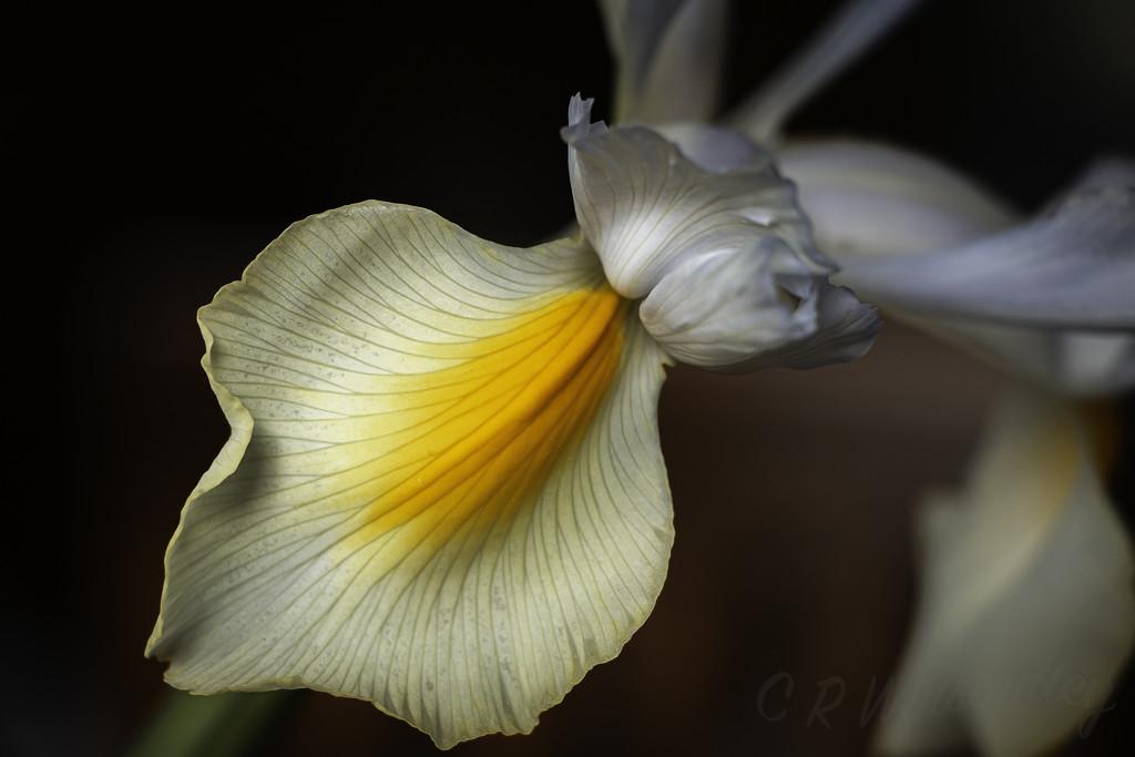 Iris by kipper1951