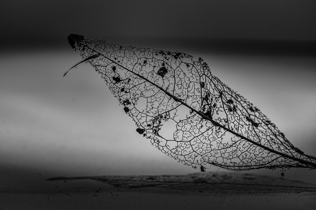 Skeleton of a Leaf by kipper1951