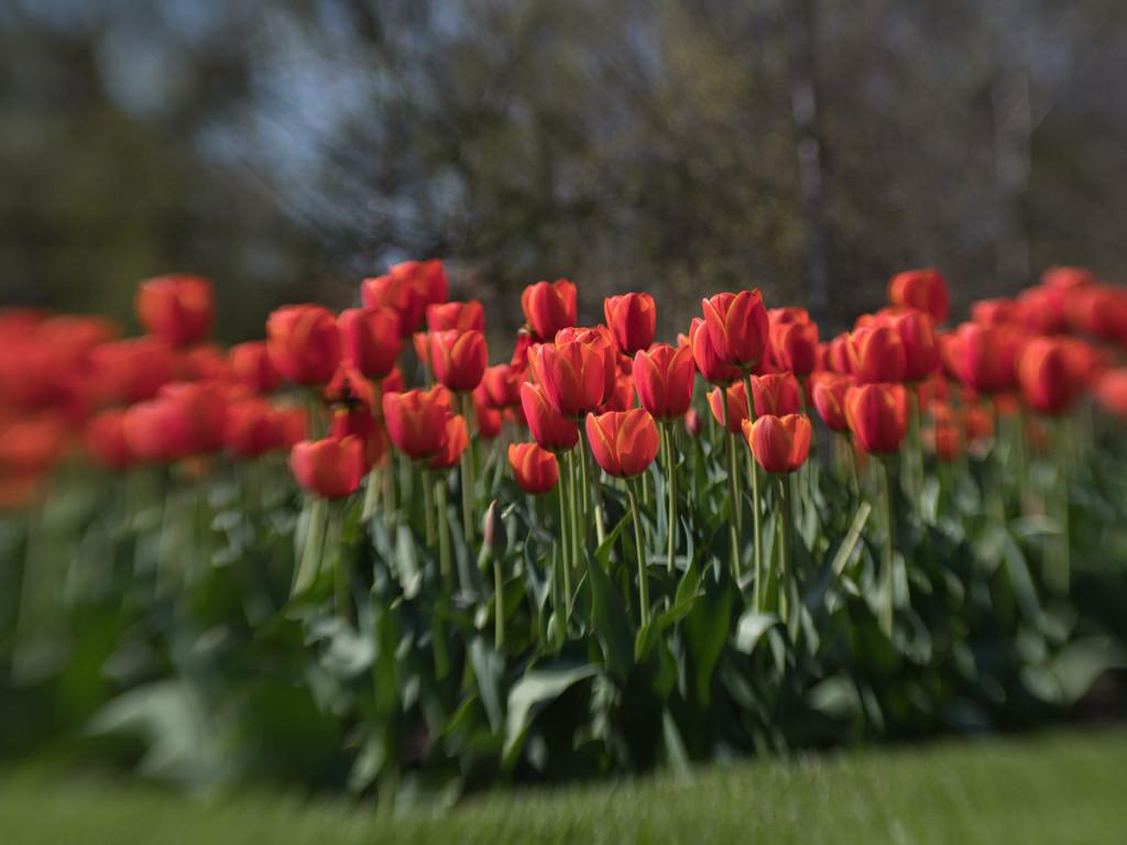 Tulips by gosia