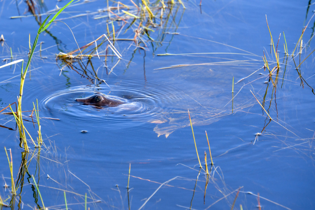 Softshell turtle by danette